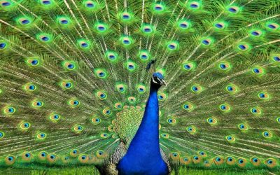 Using a Peacock to Get a Job