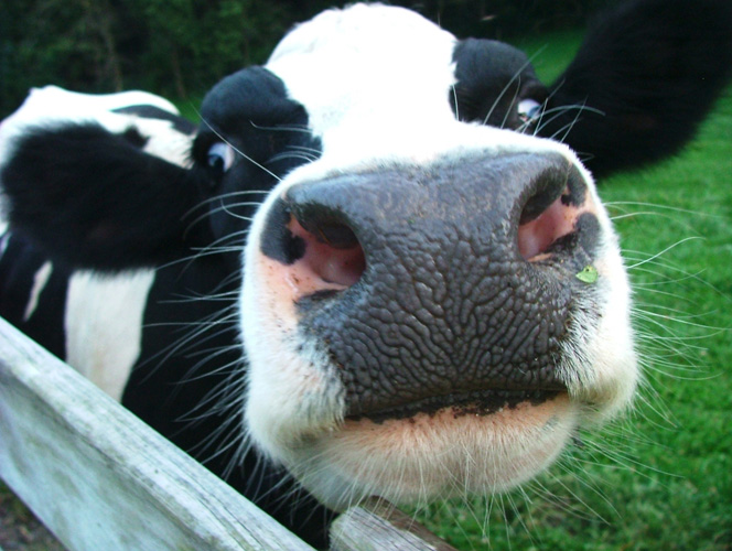 The Cow's Lament